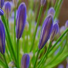 Lilac Blue! by Bev Woodman