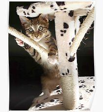 Kitten playing on cat tree Poster