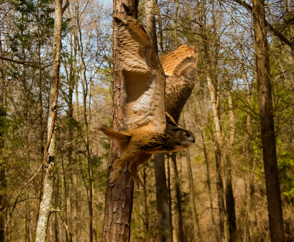 Eurasian Eagle Owl in flight by chrisflees