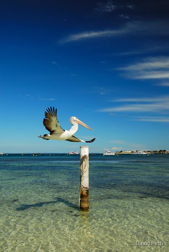 Rottnest Island Pelican by David Firth