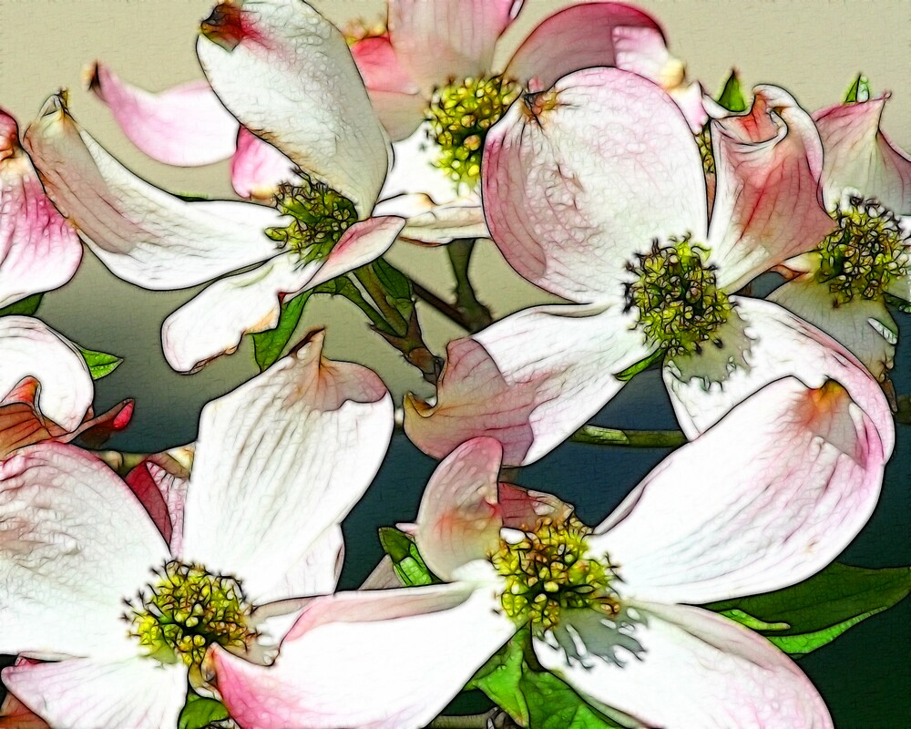 dogwood blossoms by noffi