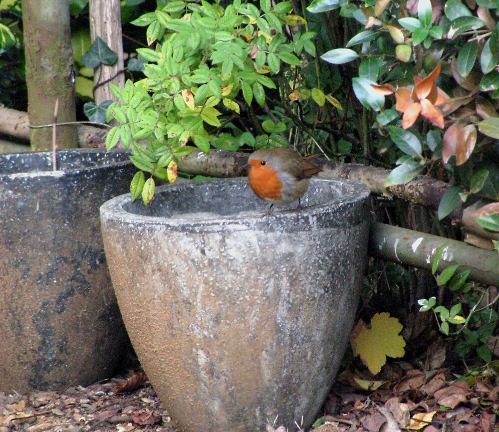 cheeky robin by Caroline Anderson
