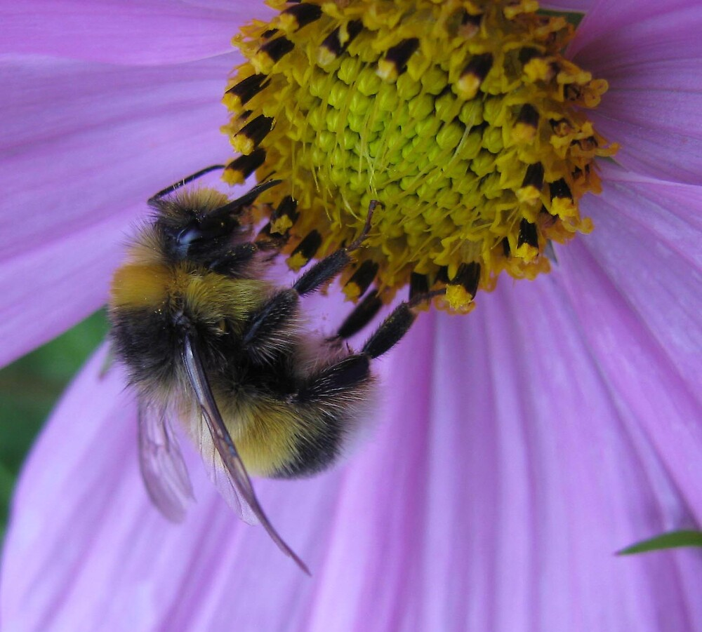 busy bee by Caroline Anderson