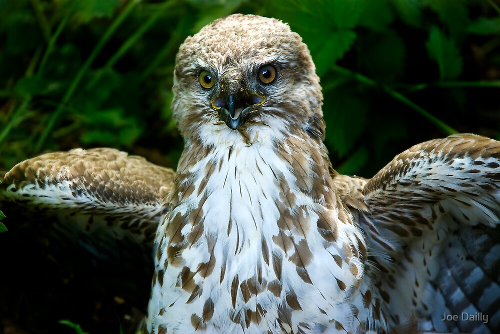 Young Buzzard by Joe Dailly