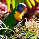 Rainbow Lorikeet by Les Boucher