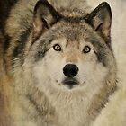 Timber Wolf Portrait by Heather King