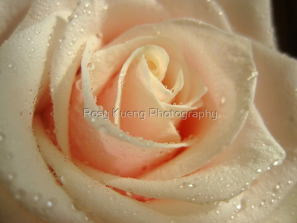 Delicate Rose by Rosy Kueng Photography