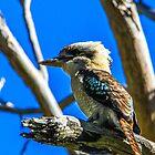 Kookaburra by indiafrank