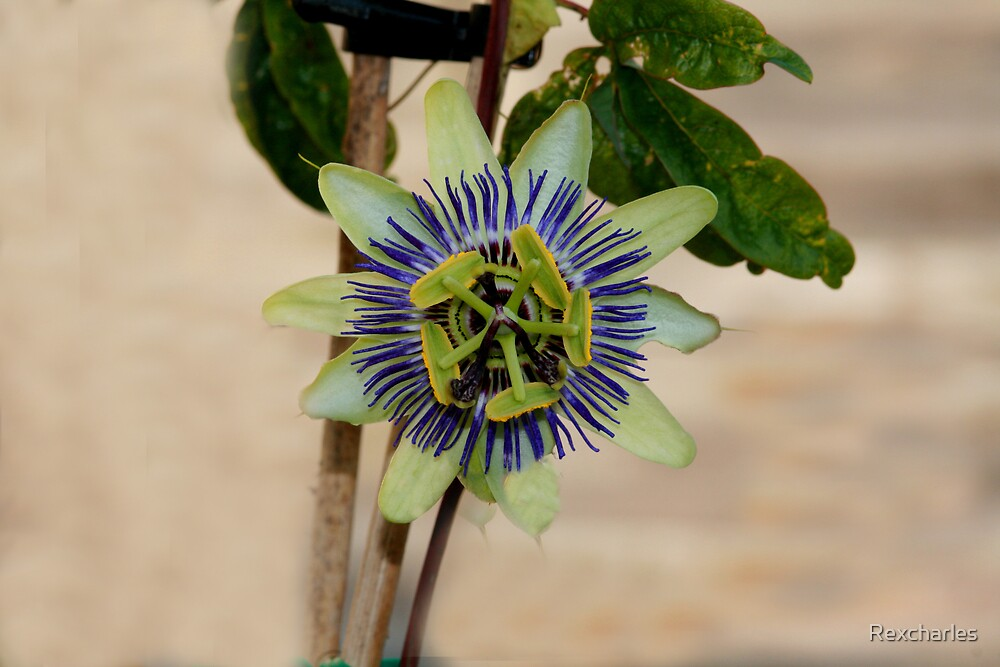 PASSION FLOWER by Rexcharles