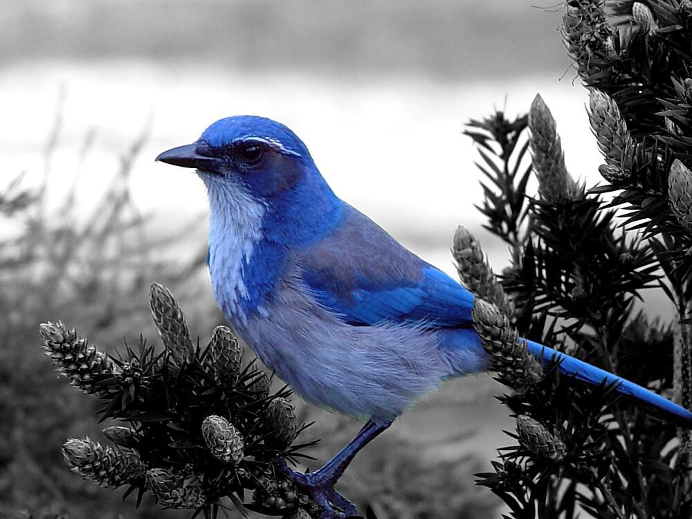 BLUE Bird by Chris Filer
