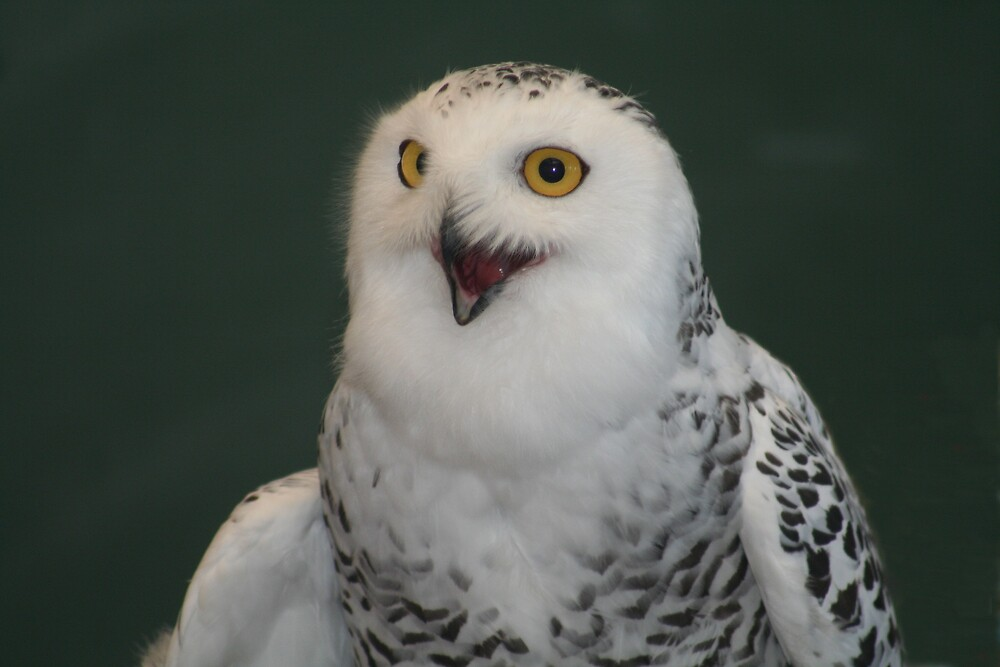 """Snow Owl Asking """" Who Won"""" by declown"""
