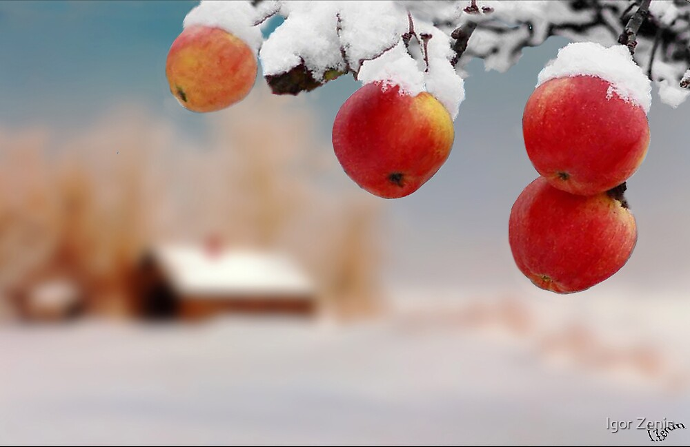 Snow apples by Igor Zenin