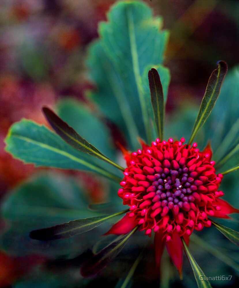 Wild Waratah alpha by Gianatti6x7
