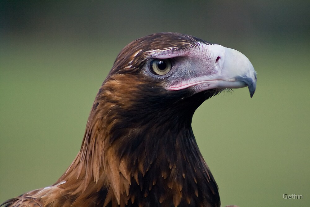 Wedgetail Eagle by Gethin