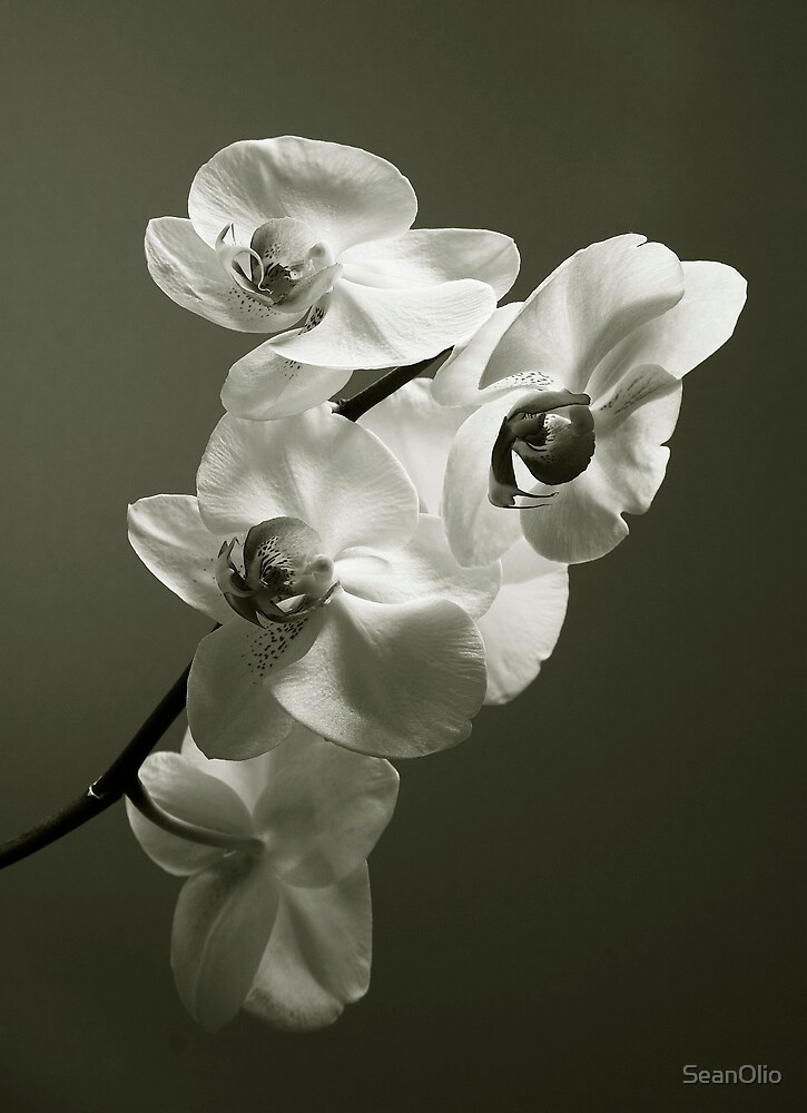Orchid by SeanOlio