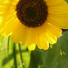 Sunflower in Late Afternoon by Anna Lisa Yoder