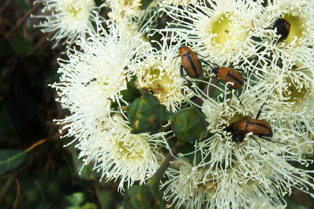 the beetles in the blossom by adam pearson