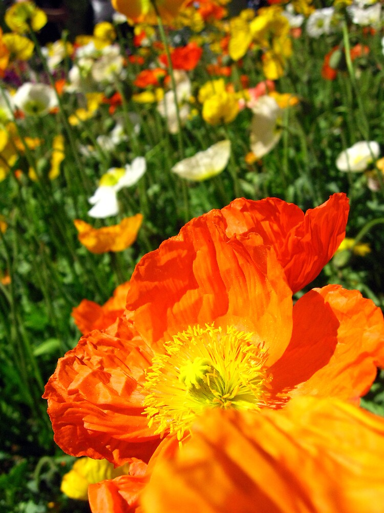 The Orange Poppy by Risarisa