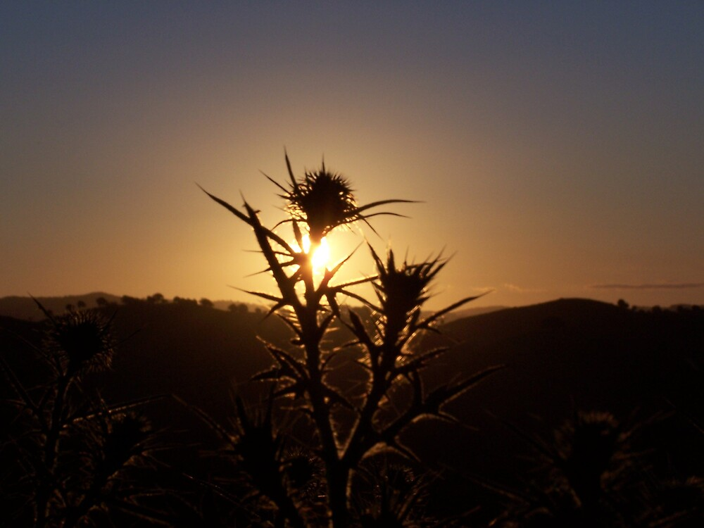 thistle sunset by jules65