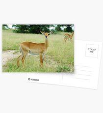 Grants Gazelle Murchison Falls National  Park Uganda Postkarten