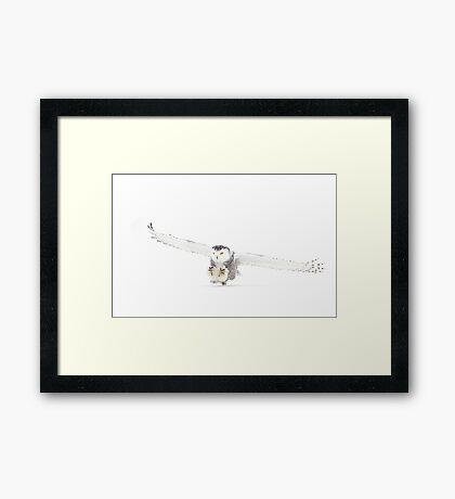 Snowy Owl on the hunt Framed Print