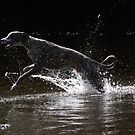 Whippet playing in water by turniptowers