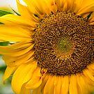 Sunflower in Bloom # 1 by Debra Fedchin