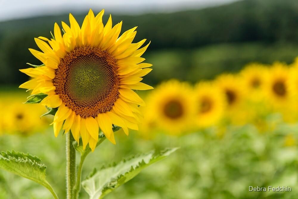 Sunflowers in Bloom by Debra Fedchin