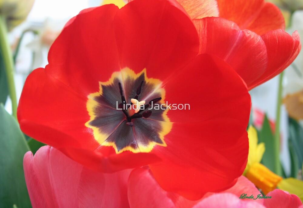Red Tulip by Linda Jackson