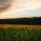 Sunset over a field of Sunflowers by Debra Fedchin