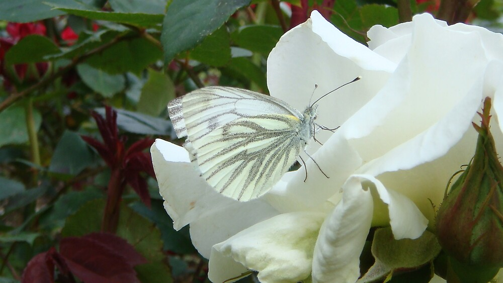 White Butterfly on White Rose by mellya