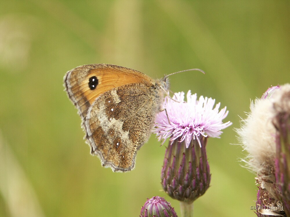 butterfly on a flower by sarah hardy