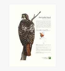 Red-tailed Hawk Infographic Art Print