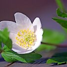 Anemone nemorosa by julie08