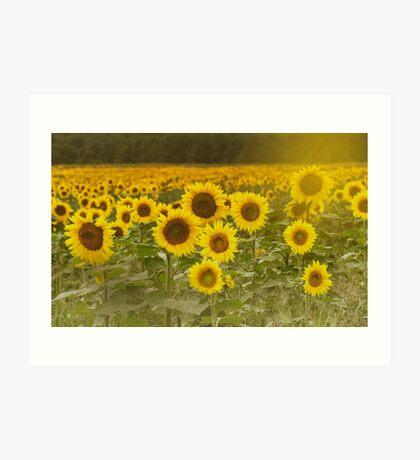 Sunlit field of Sunflowers Art Print
