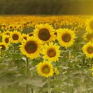 Sunlit field of Sunflowers by Debra Fedchin