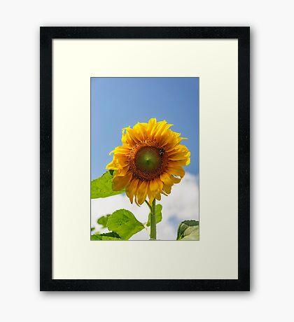 A busy bee on a Sunflower Framed Print