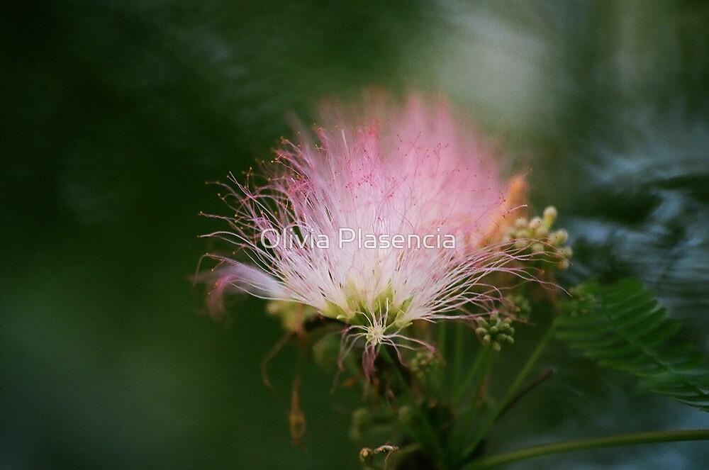 Mimosa by Olivia Plasencia