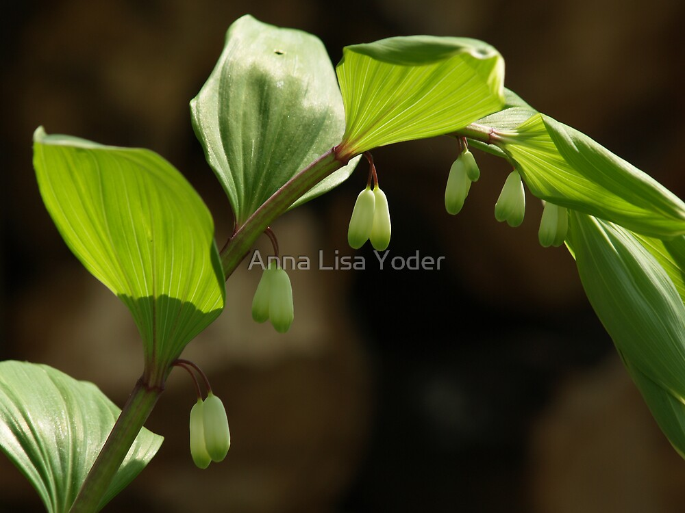 Variegated Solomon's Seal by Anna Lisa Yoder