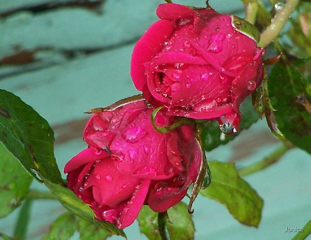 Water Drops On The Two Roses by Jonice