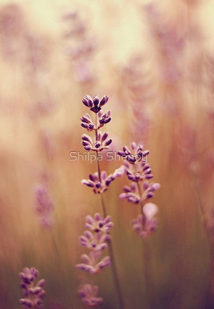 lavender by Shilpa Shenoy