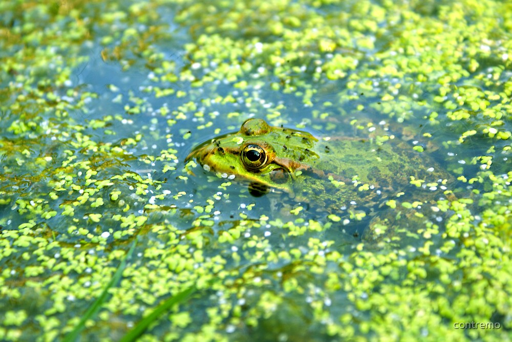 Green frog by contremo