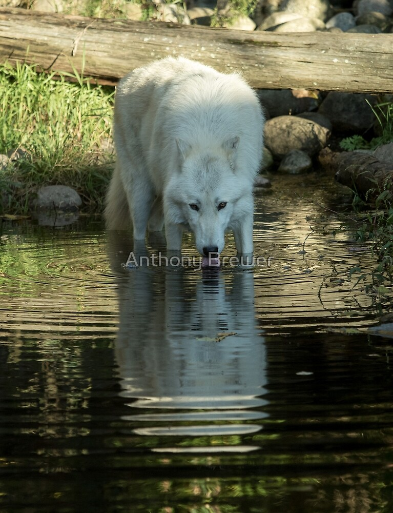 Wolf reflection by Anthony Brewer