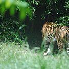 Tiger by emmabel