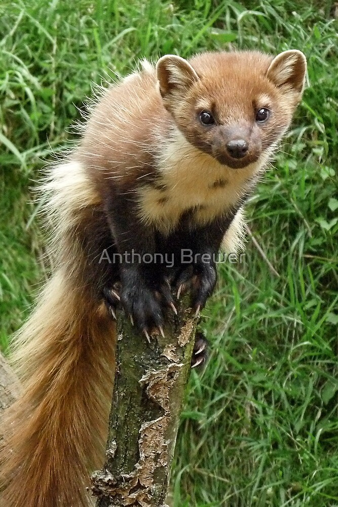 Tree weasel by Anthony Brewer