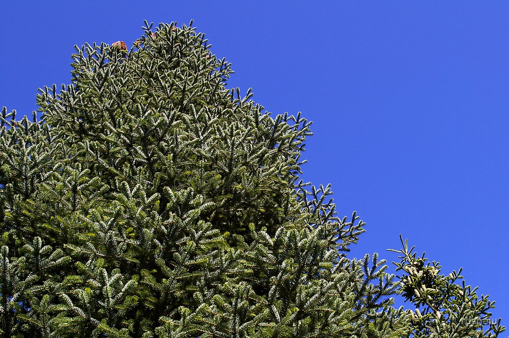 Conifer by rdshaw