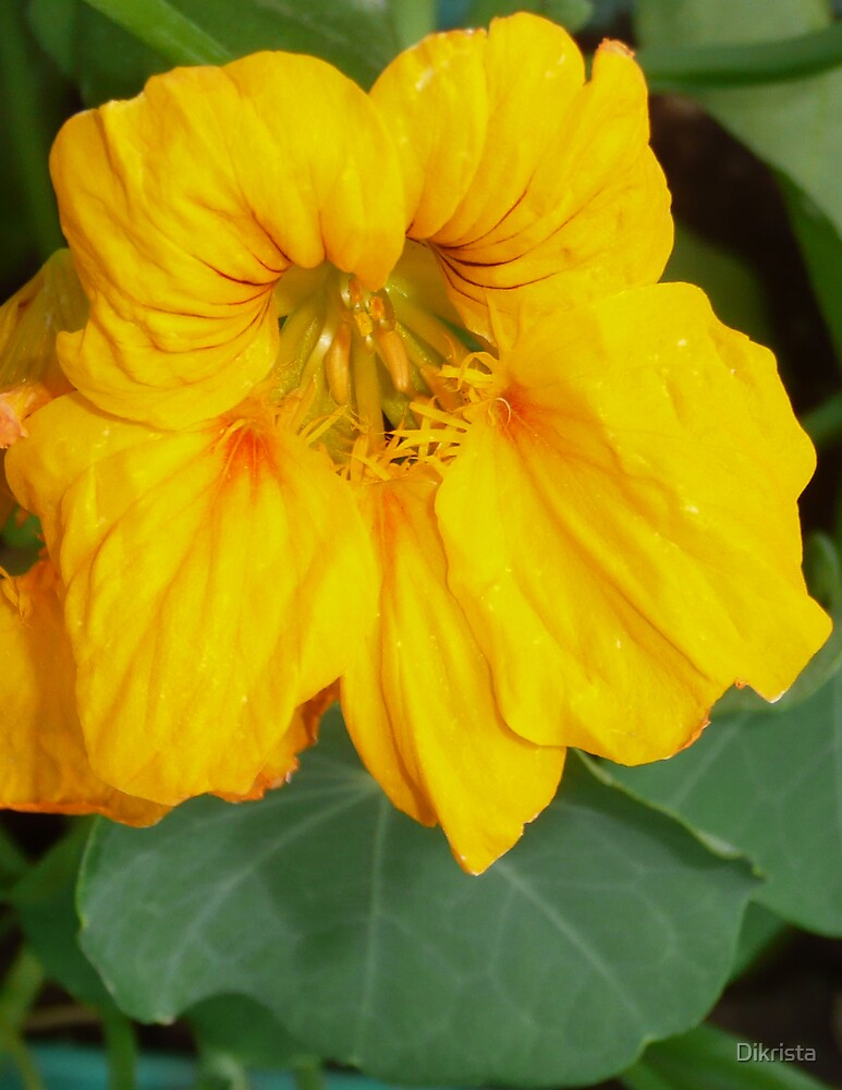 flower by Dikrista