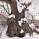 My favourite tree - Ottawa, ON Canada by Shulie1