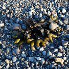 Seaweed, San Juan Islands by Deborah Singer