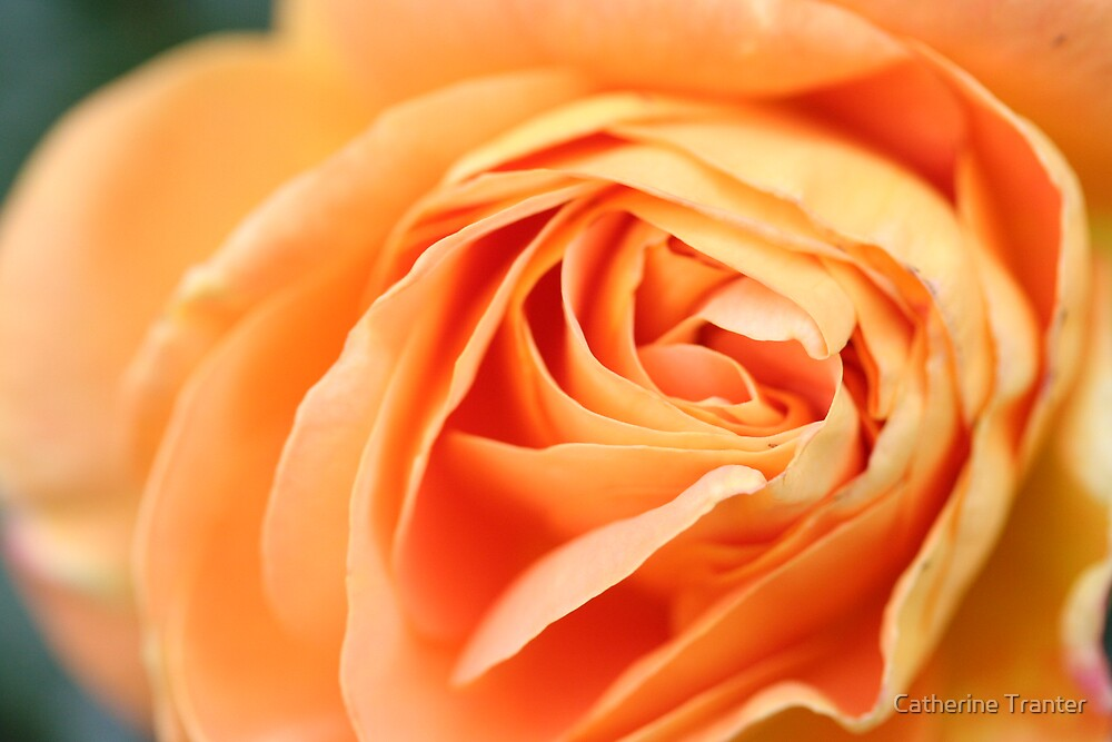 Rose petal by Catherine Tranter